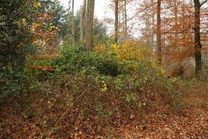 Rododendrons in de Meene, overwoekerd door Braam en Amerkikaanse Vogelkers.